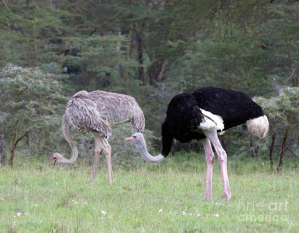 Photograph - Two Ostriches by Chris Scroggins