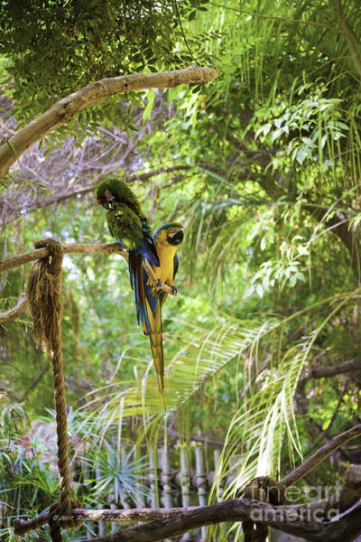 Photograph - Two Parrots by Richard J Thompson