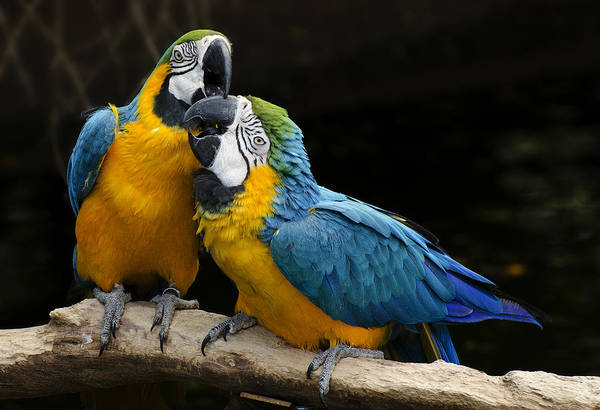 Loving Photograph - Two Parrots Squawking by Dave Dilli