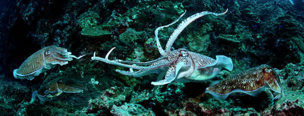 Wall Art - Photograph - Two Pharao Cuttlefish Mating, Thailand by Morten Beier