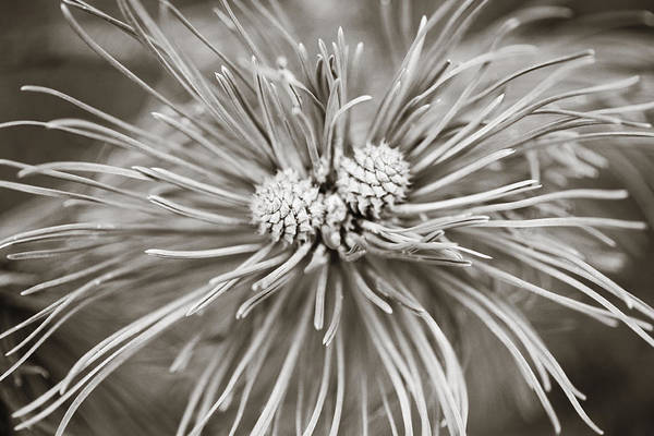 Photograph - Two Pine Cones by Marilyn Hunt