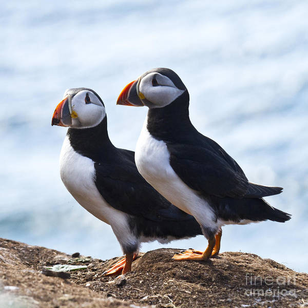 Photograph - Two Puffins Just Landed On Hornoya by Heiko Koehrer-Wagner