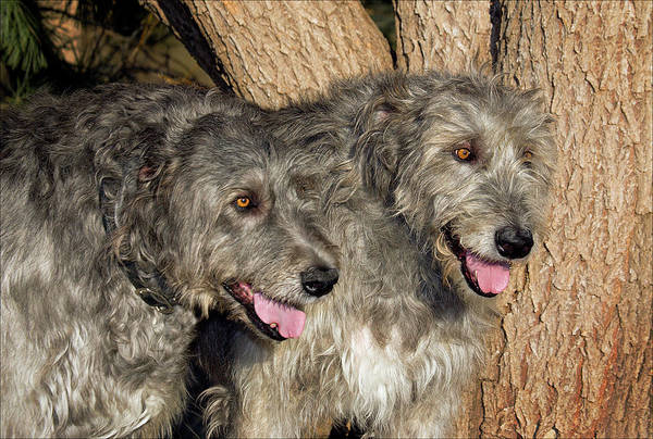 Sighthound Wall Art - Photograph - Two Purebred Irish Wolfhounds By A Tree by Piperanne Worcester