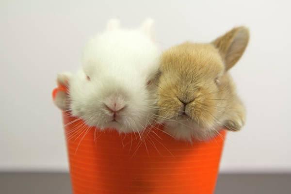 Photograph - Two Rabbits Inside A Basket by Fernando Trabanco Fotografía