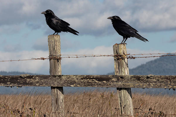 Bishop Hill Photograph - Two Ravens On A Fence by Kathleen Bishop