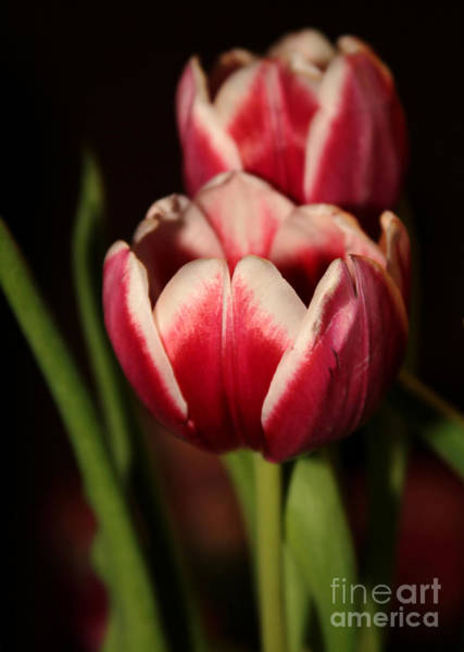 Photograph - Two Red Tulips by Sabrina L Ryan