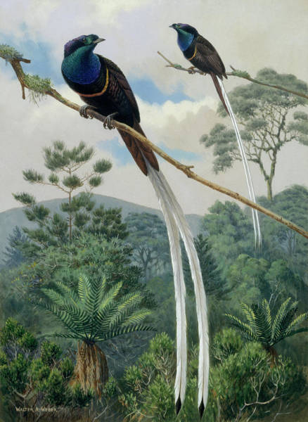 Mount Hagen Photograph - Two Ribbon Tailed Birds Of Paradise Sit by Walter A. Weber