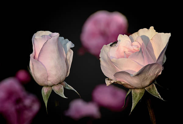 Photograph - Two Roses And A Fly by Tomasz Dziubinski