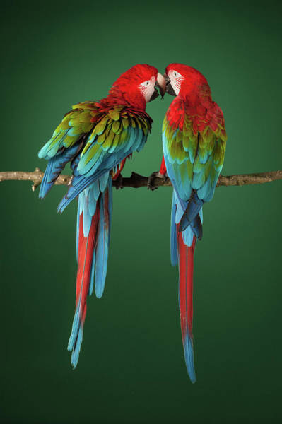 Macaw Photograph - Two Scarlet Macaws On A Perch by Tim Platt