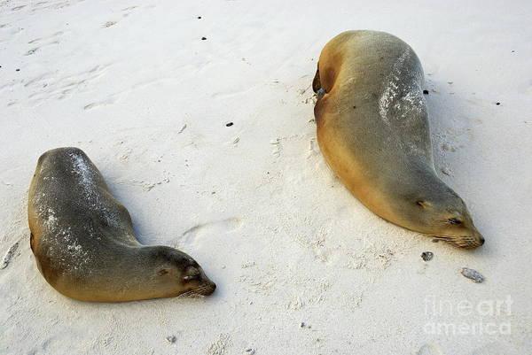 Wall Art - Photograph - Two Sea Lions Sleeping On Beach by Sami Sarkis