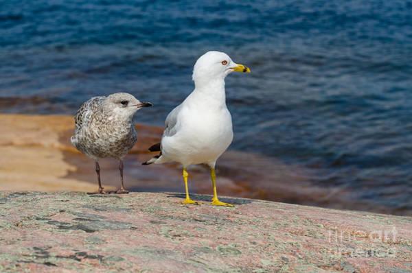 Photograph - Two Seagulls by Les Palenik
