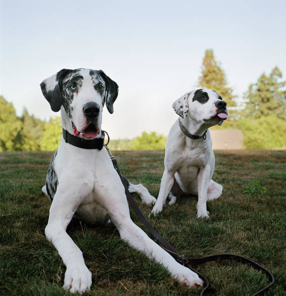 Great Dane Photograph - Two Silly Dogs In Park by Danielle D. Hughson