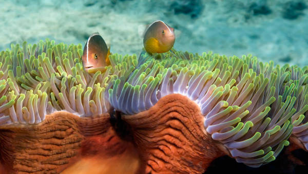 Skunk Photograph - Two Skunk Anemone Fish And Indian Bulb by Panoramic Images