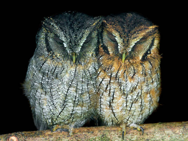In The Wild Wall Art - Photograph - Two Small Owls Sleeping Together by Picture By Tambako The Jaguar