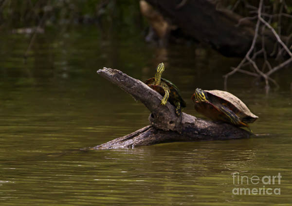 Coosa River Photograph - Two Snapping Turtles   #0549 by J L Woody Wooden