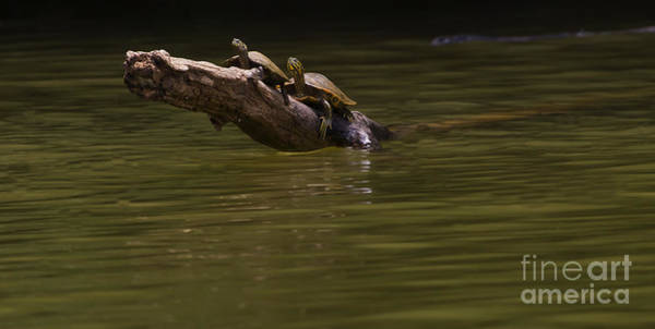 Coosa River Photograph - Two Snapping Turtles On A Log   #1021 by J L Woody Wooden