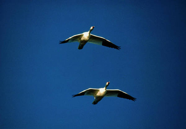 Snow Goose Photograph - Two Snow Geese (anser Caerulescens) In Flight by William Ervin/science Photo Library