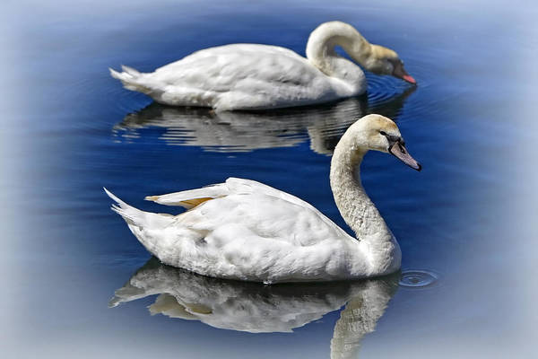Photograph - Two Swans Swimming By Lincoln Rogers by Lincoln Rogers