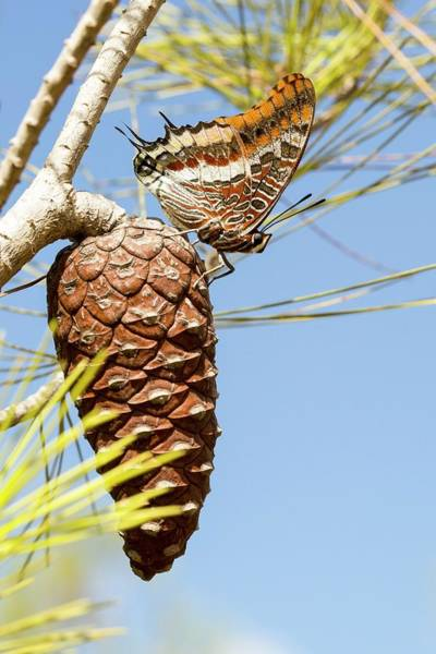 Arthropods Wall Art - Photograph - Two-tailed Pasha (charaxes Jasius) by Photostock-israel