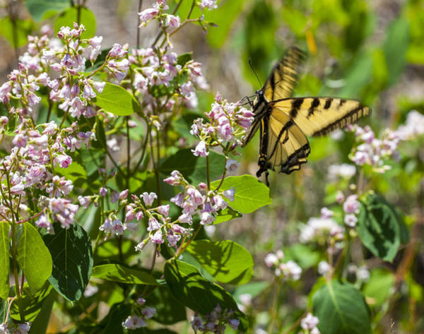 Photograph - Two Tailed Swallowtail by Fran Riley