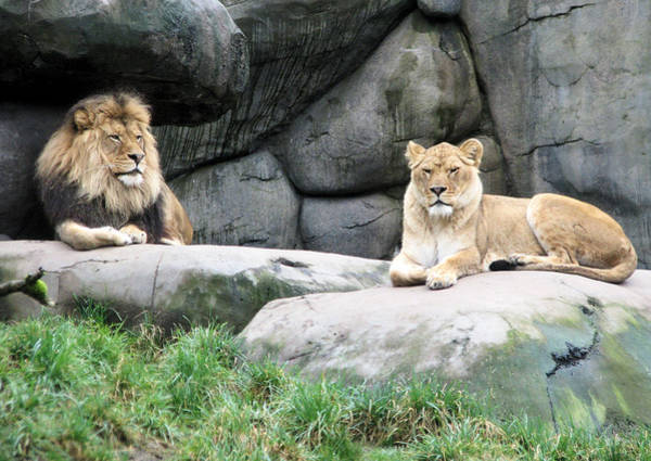 Photograph - Two Tranquil Lions by Lora Fisher