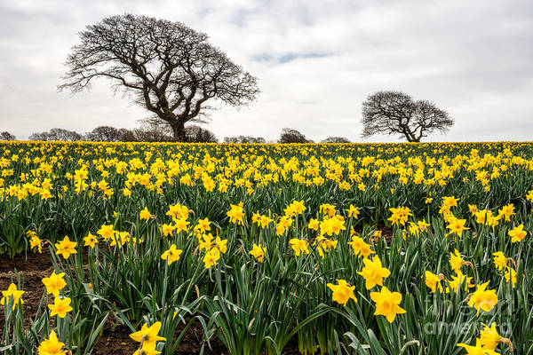 Daffodils Photograph - Two Trees by Adrian Evans