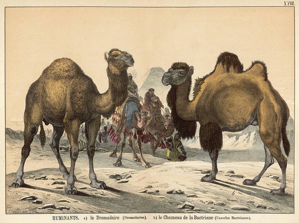 Wall Art - Drawing - Two Types Of Camel Dromedary (left) by Mary Evans Picture Library