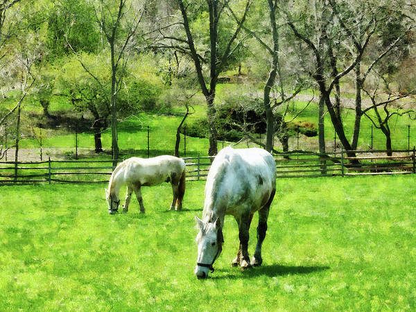 Photograph - Two White Horses Grazing by Susan Savad
