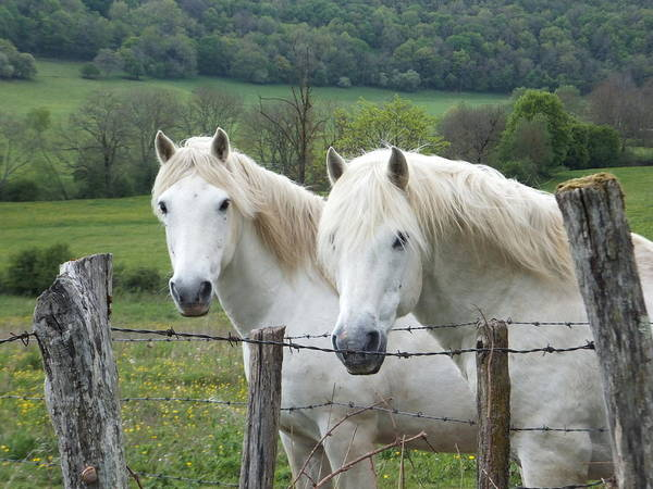 Photograph - Two White Horses by Marc Philippe Joly