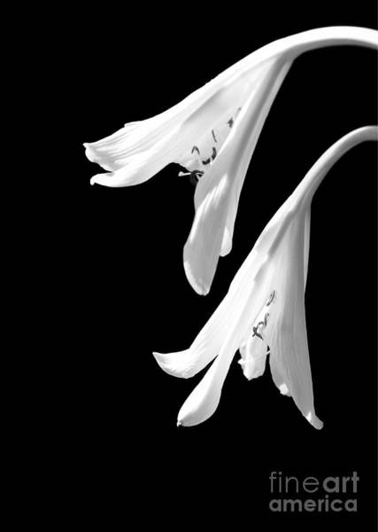 Photograph - Two White Lilies by Sabrina L Ryan
