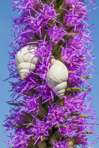 Photograph - Two White Snails On Flowering Liatris by Steven Schwartzman