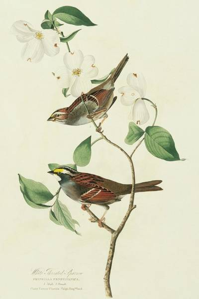 White-throated Sparrow Photograph - Two White-throated Sparrows by Natural History Museum, London/science Photo Library