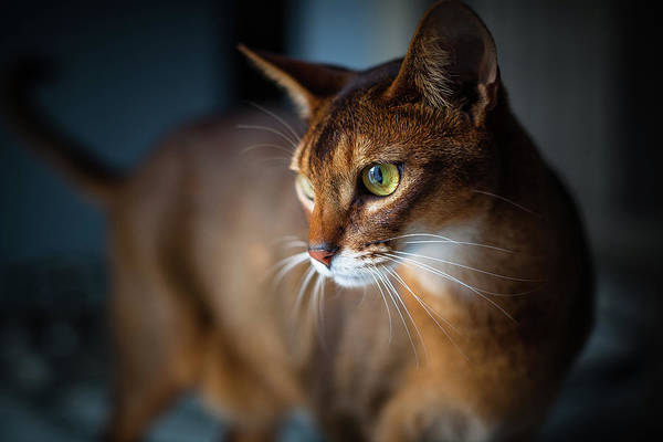 Photograph - Two-year-old Ruddy Male Abyssinian Cat by Josef Timar