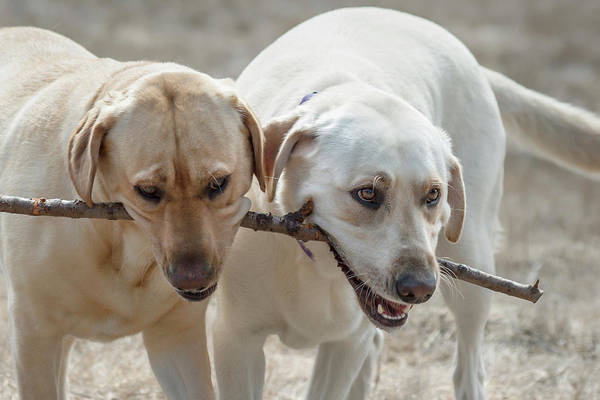Wall Art - Photograph - Two Yellow Labrador Retrievers Playing by Zandria Muench Beraldo