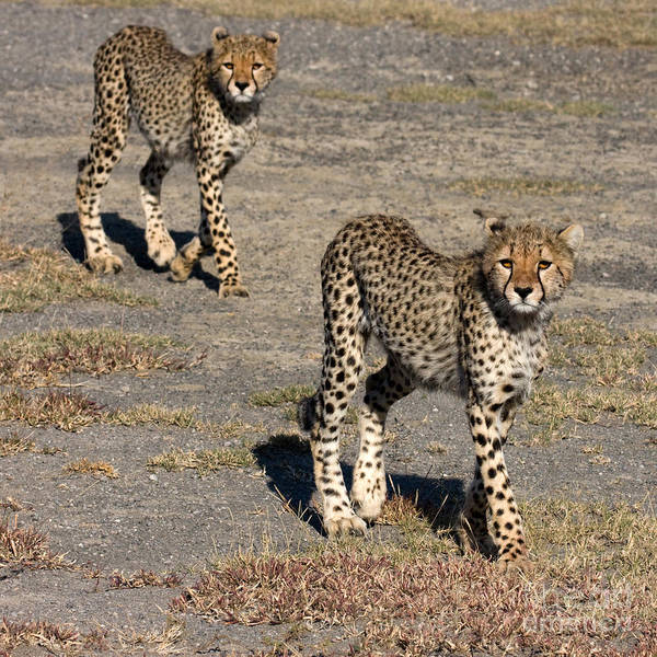 Photograph - Two Young Cheetahs by Chris Scroggins