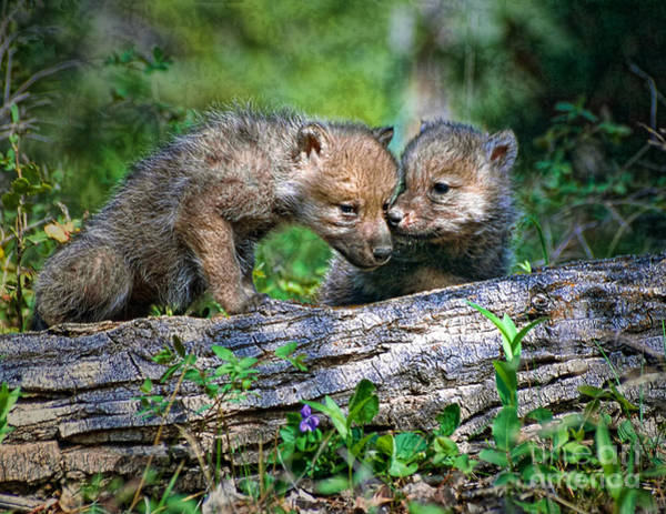 Photograph - Two Young Wolf Pups by Les Palenik