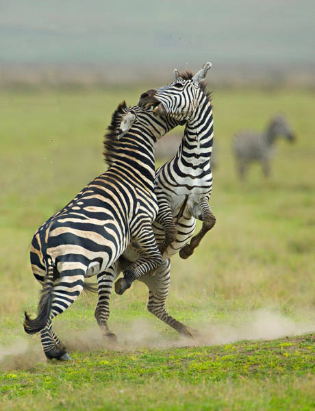 Battle Field Photograph - Two Zebras Fighting In A Field by Panoramic Images