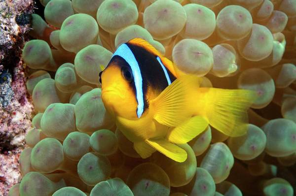 Anemonefish Photograph - Twoband Anemonefish In An Anemone by Georgette Douwma