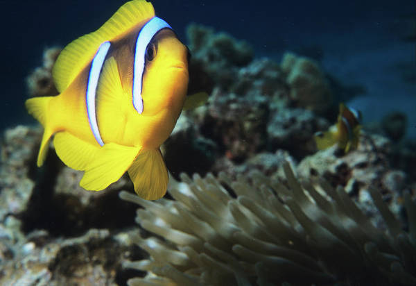 Wall Art - Photograph - Twoband Anemonefish by Lionel, Tim & Alistair/science Photo Library
