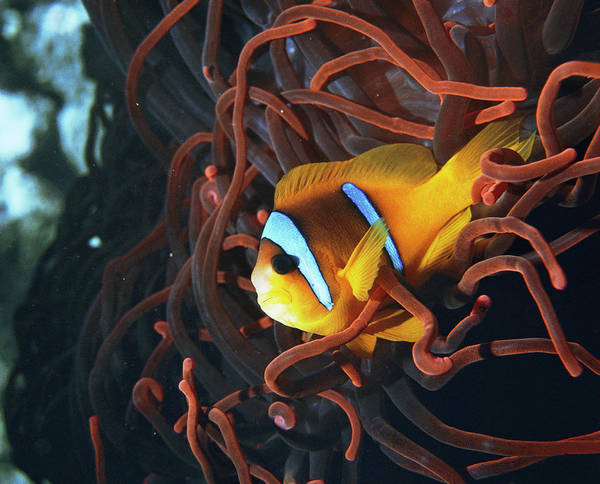 Clownfish Photograph - Twoband Anemonefish by Peter Scoones/science Photo Library