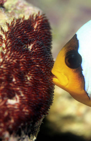 Clownfish Wall Art - Photograph - Twoband Anemonefish With Eggs by Louise Murray/science Photo Library