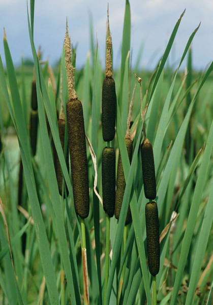 Cattails Wall Art - Photograph - Typha Latifolia by Helmut Partsch/science Photo Library