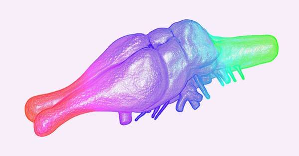 Olfactory Bulb Photograph - Tyrannosaurus Rex Brain by K H Fung/science Photo Library