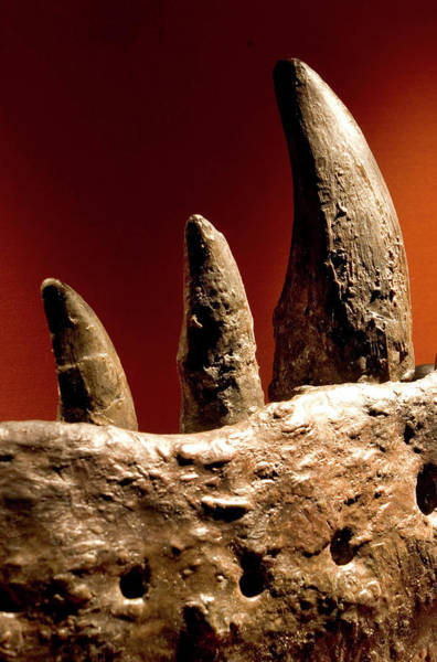 Rex Photograph - Tyrannosaurus Rex Teeth Fossil by Natural History Museum, London/science Photo Library