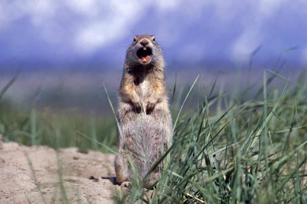 Wall Art - Photograph - Uinta Ground Squirrel by D & L Klein