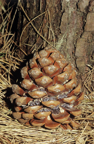 Pine Cones Photograph - Umbrella Pine Cone by Brian Gadsby/science Photo Library