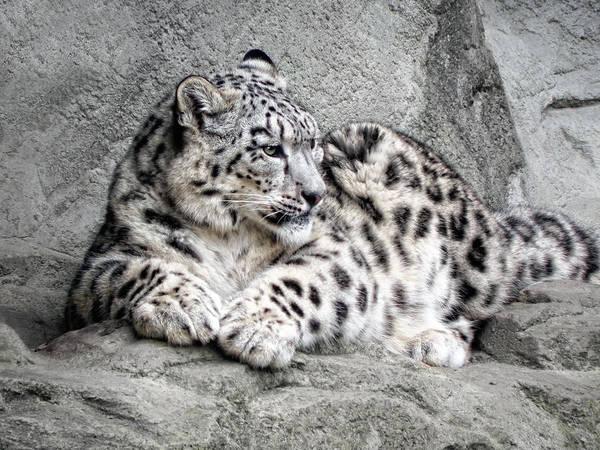 Snow Leopard Wall Art - Photograph - Uncia Uncia by Joachim G Pinkawa