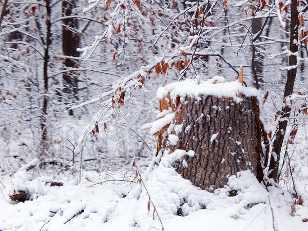 Photograph - Uncle Snowy Stump by Wild Thing
