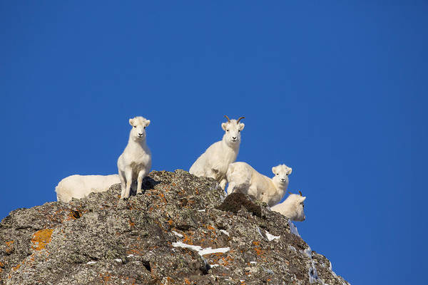 Sheep Photograph - Under The Blues Skies Of Winter by Tim Grams