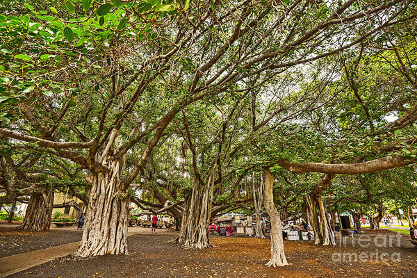 Indian Banyan Photograph - Under The Canopy - Banyan Tree Park In Maui. by Jamie Pham